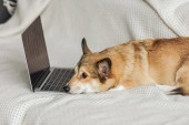 adorable corgi dog lying on couch with laptop