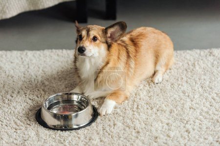 cute corgi dog with bowl of water standing on carpet at home