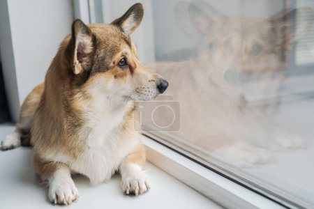 cute corgi dog lying on windowsill and looking through window
