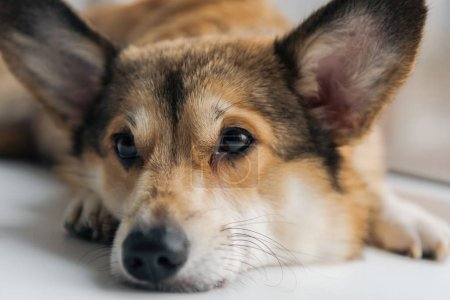 close-up shot of adorable corgi dog lying on windowsill and looking away