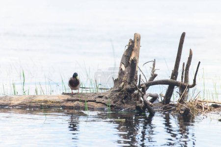 one duck sitting on log in river
