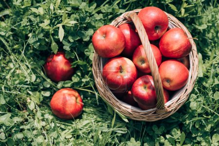 top view of ripe apples in wicker basket on green grass