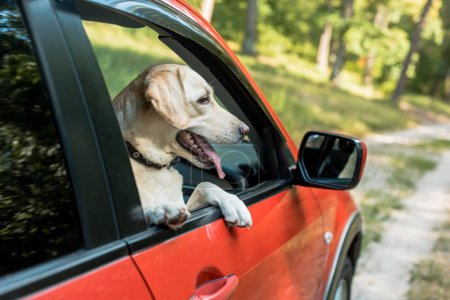 cute labrador dog looking out from window in red car