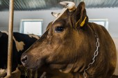 close up of cow standing in stable at farm