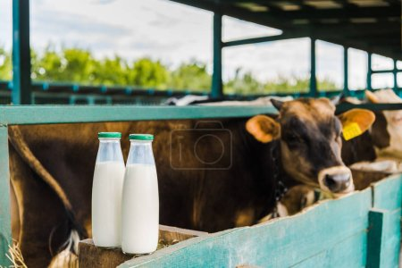cows standing in stable with bottles of milk on fence on foreground