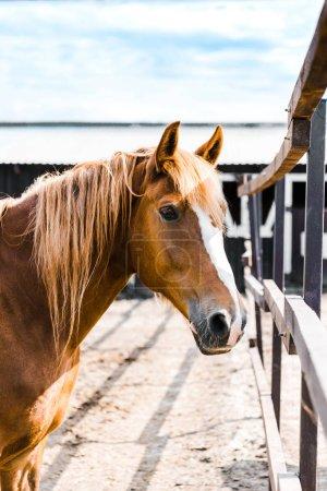 jeden piękny brązowy koń stoi w stajni na ranczo i patrząc na kamery
