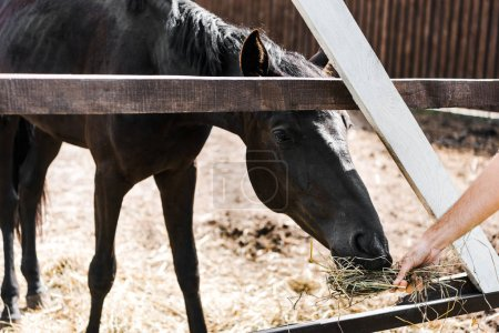 cropped image of farmer feeding black horse with hay in stable