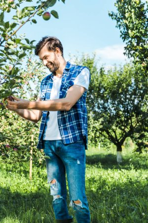 handsome farmer checking ripe apple on tree in garden