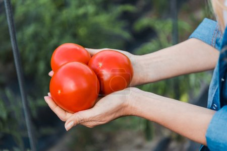 cropped image of farmer holding ripe organic tomatoes in hands in field at farm