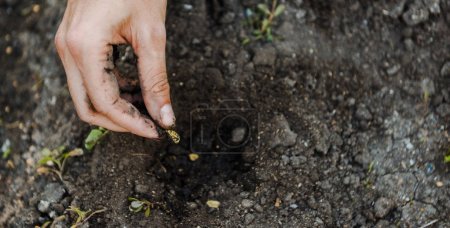 Cropped image of farmer planting cardamom seeds in soil