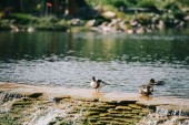 "Постер, картина, фотообои ""Три утки, сидя на плотину на реке в парке"""