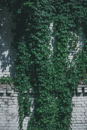 white brick wall with beautiful green ivy leaves at sunny day