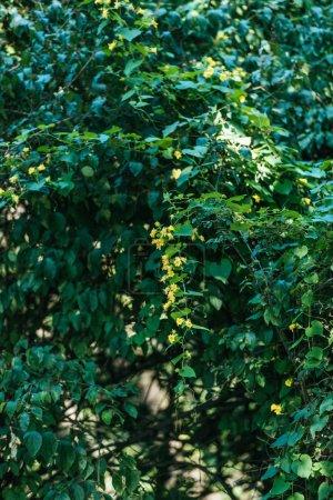 Photo pour Beau buisson avec des feuilles vertes et de petites fleurs en fleurs - image libre de droit