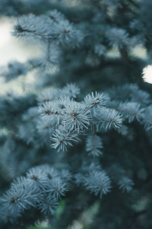 close-up view of beautiful evergreen fir twigs natural background