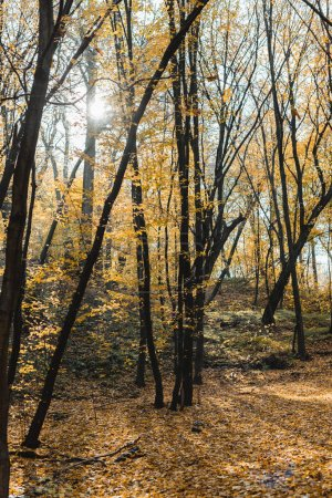 Photo for Beautiful autumnal forest with yellow trees on sunny day - Royalty Free Image