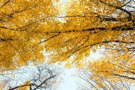 Photo pour Vue du bas de la belle forêt automnale avec des arbres jaunes - image libre de droit
