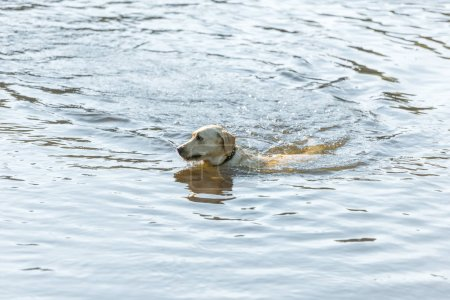 Photo for High angle view of adorable golden retriever swimming in pond outdoors - Royalty Free Image