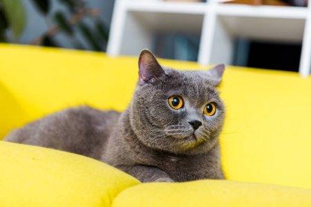 Photo pour Gris british shorthair chat couché sur le canapé jaune - image libre de droit