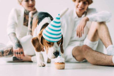 Photo pour Foyer sélectif de chien beagle mignon manger cupcake près de l'homme et la femme sur fond gris - image libre de droit