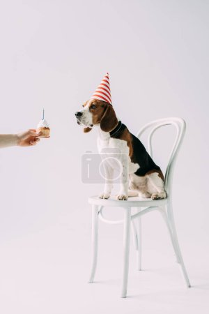 Photo for Cropped view of woman holding sweet cupcake near beagle dog sitting on chair on grey background - Royalty Free Image