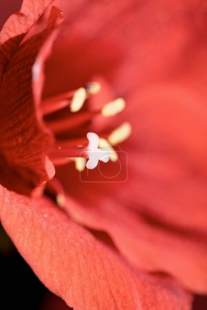 selective focus of Living coral amaryllis flower background. Pantone color of the year 2019 concept