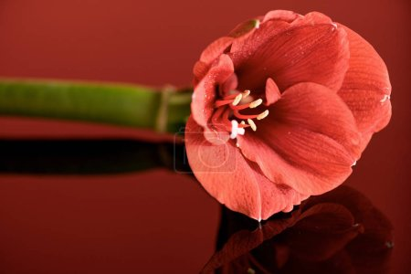 Photo for Amaryllis flower in living coral color on red background - Royalty Free Image