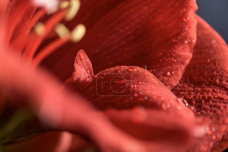 Photo for Macro view of Living coral amaryllis flower background - Royalty Free Image