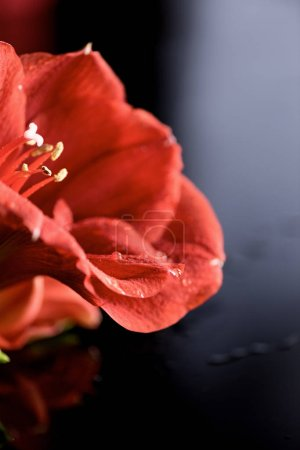 Photo for Macro view of red amaryllis flower on black - Royalty Free Image