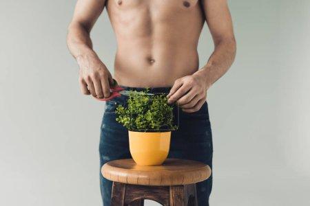 Photo pour Vue partielle de l'homme en jeans coupant la plante verte avec des ciseaux isolés sur gris - image libre de droit