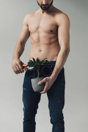 Partial view of shirtless man in jeans cutting plant with secateurs isolated on grey