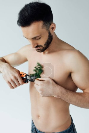 Photo for Bearded shirtless man cutting plant on chest with secateurs isolated on grey - Royalty Free Image