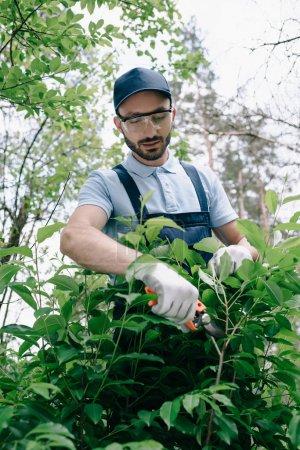 Photo pour Jardinier concentré dans des verres protecteurs et des buissons de coupe de chapeau avec le tailleur dans le stationnement - image libre de droit