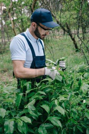 Photo pour Jardinier dans des glaces protectrices et buisson d'élagage de chapeau avec le tailleur dans le stationnement - image libre de droit
