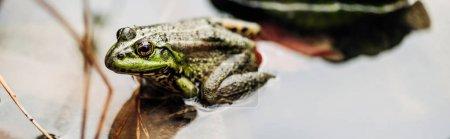 Photo pour Tir panoramique de grenouille verte dans la rivière à l'extérieur - image libre de droit