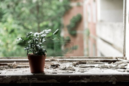 Photo pour Petite plante aux feuilles vertes en pot sur le rebord de la fenêtre - image libre de droit
