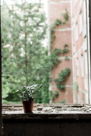 Photo for Small plant with green leaves in pot on dirty windowsill - Royalty Free Image