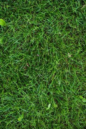 Photo pour Vue du dessus de l'herbe verte avec des feuilles sur la prairie - image libre de droit