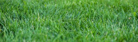 Panoramic shot of green grass on meadow