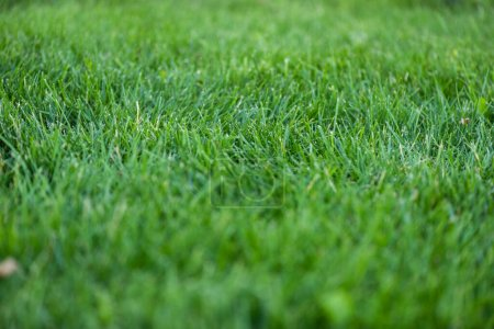 Photo for Selective focus of green grass on meadow - Royalty Free Image