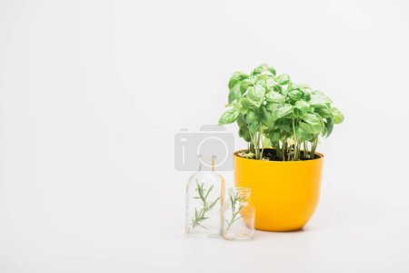 green plant in flowerpot near herbs in glass bottles on white background, naturopathy concept