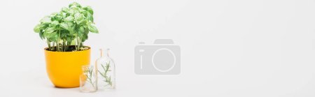 Photo for Panoramic shot of green plant in flowerpot near herbs in glass bottles on white background, naturopathy concept - Royalty Free Image