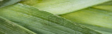 close up view of fresh green leek, panoramic shot