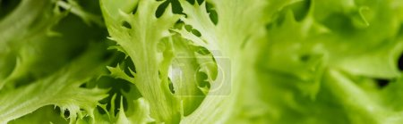Photo for Close up view of fresh green salad leaves, panoramic shot - Royalty Free Image