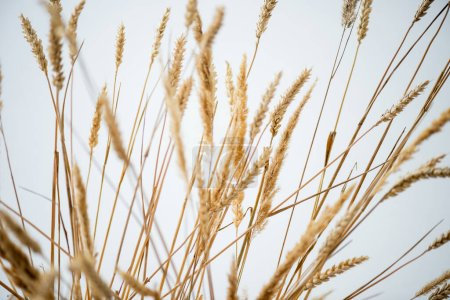Photo for Bunch of golden barley on white background - Royalty Free Image
