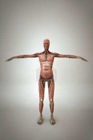 Photo for Women anatomy model isolated on white background 3d illustration - Royalty Free Image