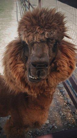Foto de Funny alpacas, Llamadas esponjosas, Zoológico, Granja - Imagen libre de derechos