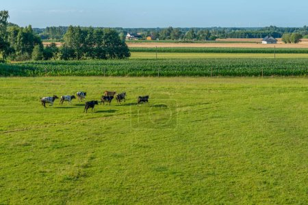 A herd of black and white cows flees towards the cornfield