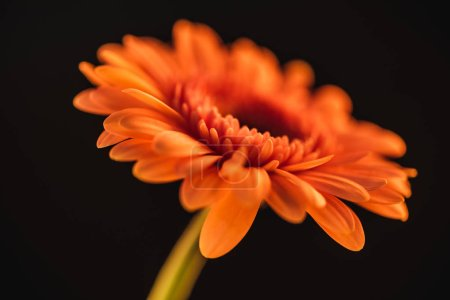 selective focus of orange gerbera flower, isolated on black