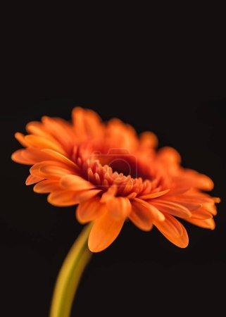 close up of orange blooming gerbera flower, isolated on black