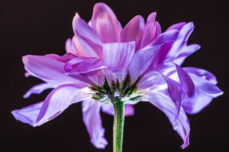 close up of flower with purple petals, isolated on black